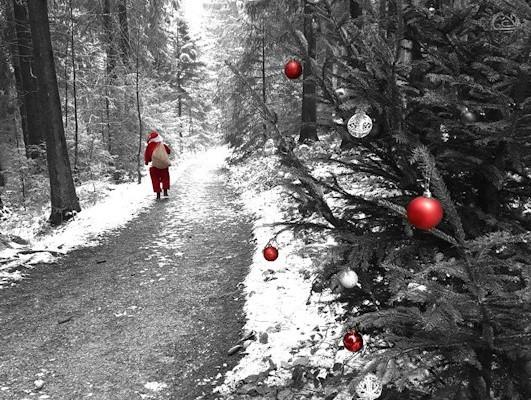 Weihnachtsbaumsuche im Winterwanderort Hahnenklee-Bockswiese